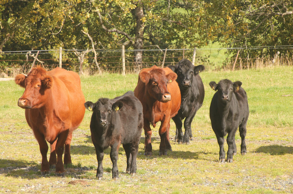 Team C, Beef Shorthorn cross Highland cows with their five- to six-month-old Angus sired calves