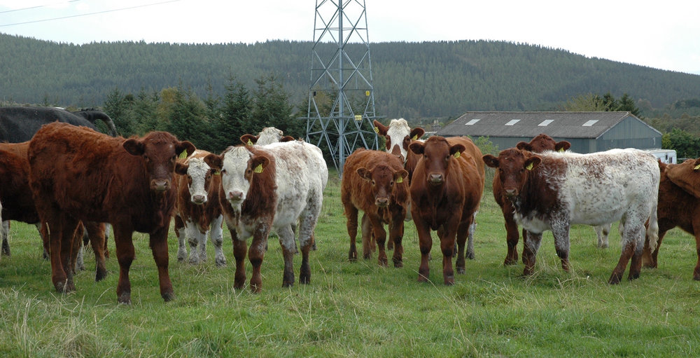 10 month-old weaned heifers