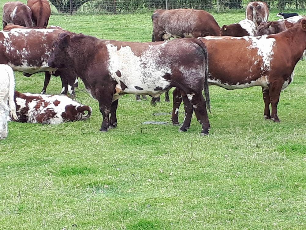 Llwynhywel herd