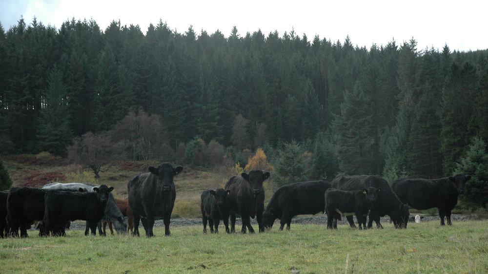 Welsh Blacks with Beef Shorthorn cross calves at Nanty Farm