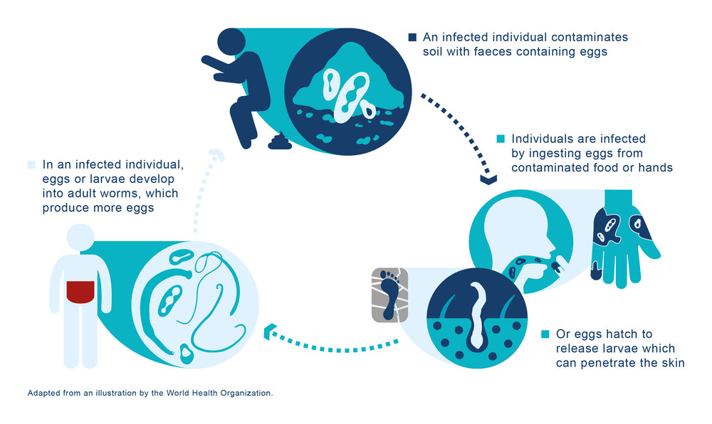 Intestinal Worm Infection Lifecycle