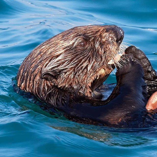 A sea otter doing what they do best. Most of the time this otter would surface with mussels but on this occasion it found a crab - which made for a more pleasing photo.  #california #ottersofinstagram #otter #crablegs #seaotter #cuteanimals #chillin #nomnom #animalsofinstagram #naturesbest #wildlifeperfection #wildlifetravel #wildlifephotography #pacificocean #breakfast