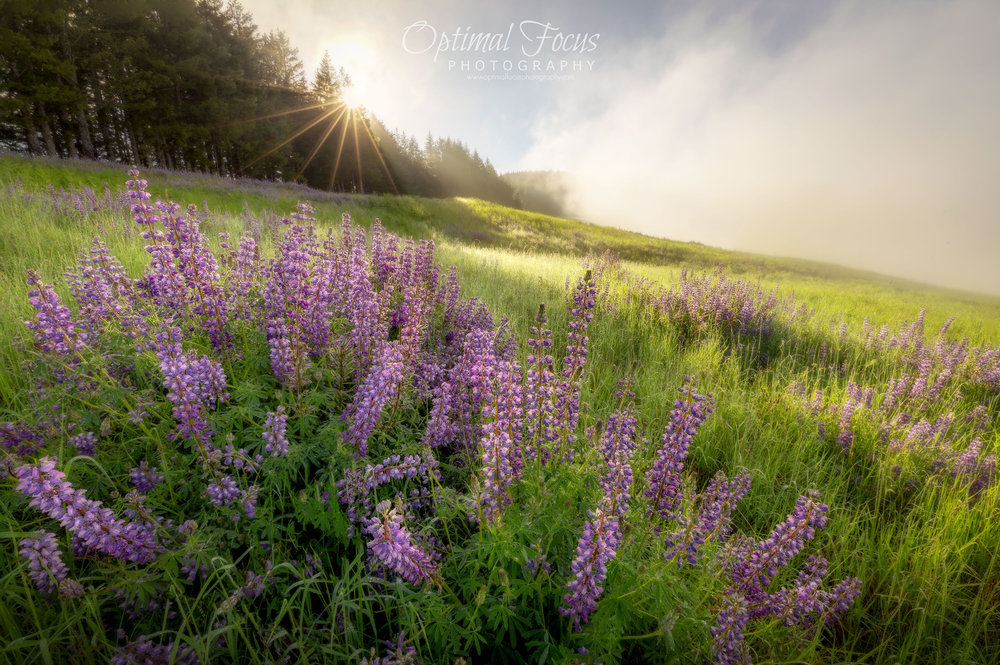 Field of Lupine / Beth Young