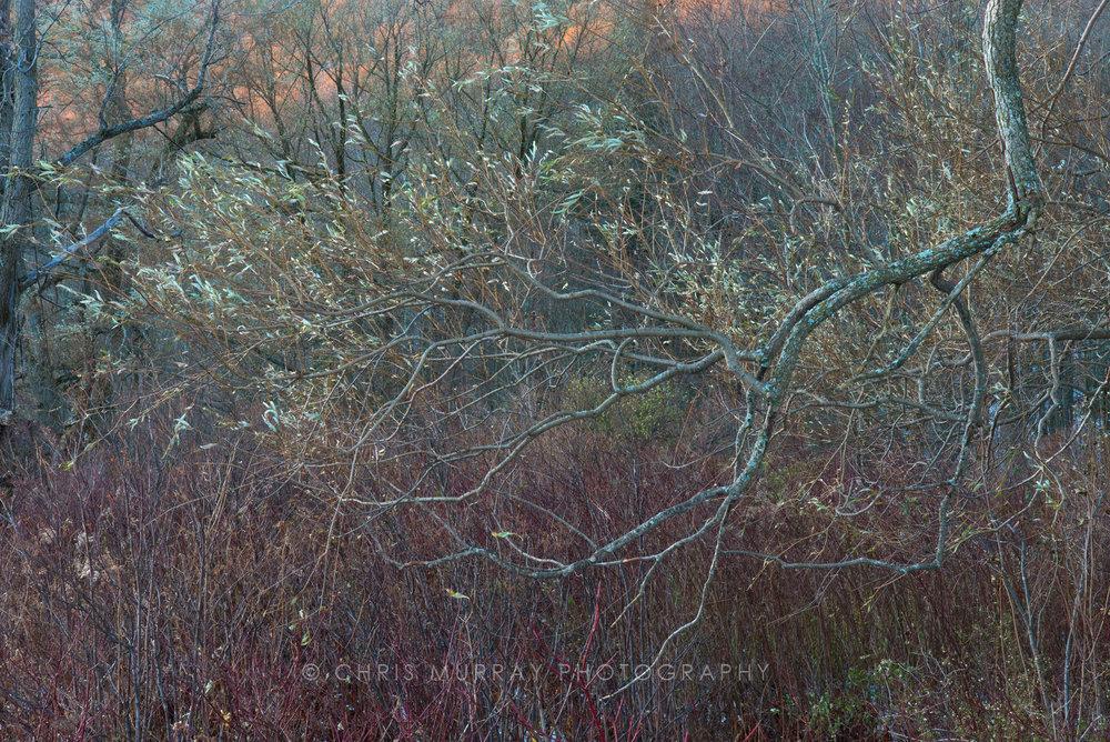 Willow Branch / Chris Murray
