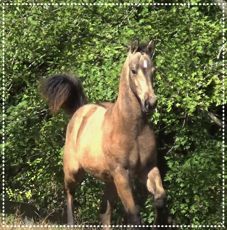 Steel Wil, 2018 AQHA Colt - Great Buckskin color with high black points. He is 35% Poco Bueno in blood. Good size with lovely movement. Doing the obstacles, loads and clips. Ranch Horse Prospect.