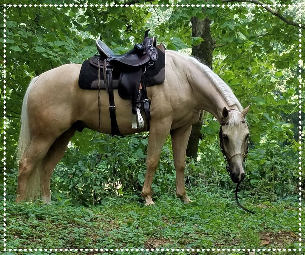 Don't Skip Old Gold, 2014 AQHA Gelding - Congrats to Debbie on the purchase of this beautiful boy. He will finish his training in my Ultimate Trail Horse Finishing Program and then make his way to California to his new family.