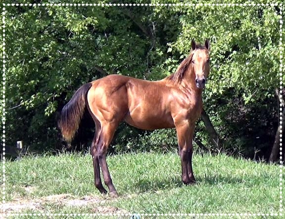 SteelDriver, 2018 AQHA Colt - Congrats to Robert in Reno, Nevada on the purchase of this wonderful golden Buckskin Colt. We can't wait to hear of his adventures that lie ahead.
