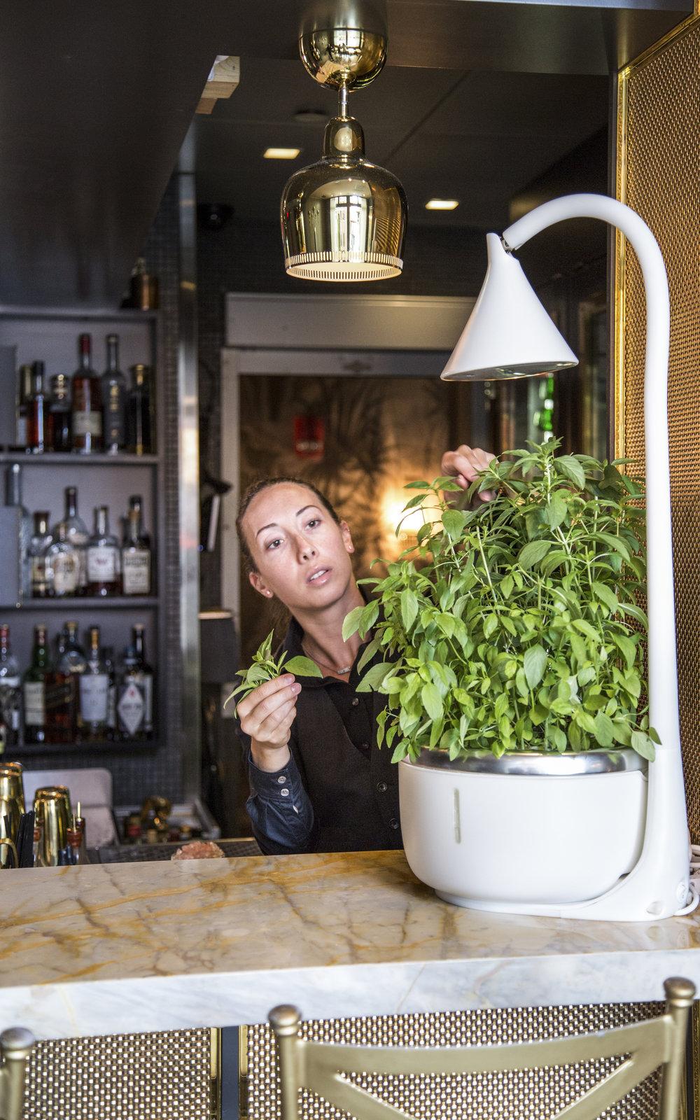 SproutsIO - Menton - Bartender Harvesting Basil.jpg