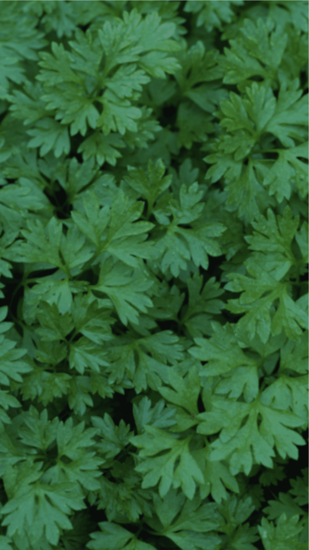 background_chervil.png
