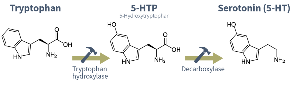 serotonin-tryptophan-5-ht-synthesis.png