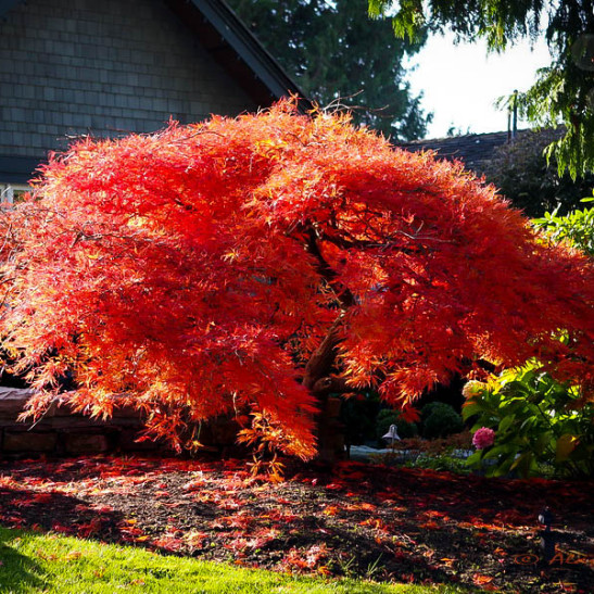 Weeping Japanese Maple - Acer palmatum Dissectum Orangeola ...