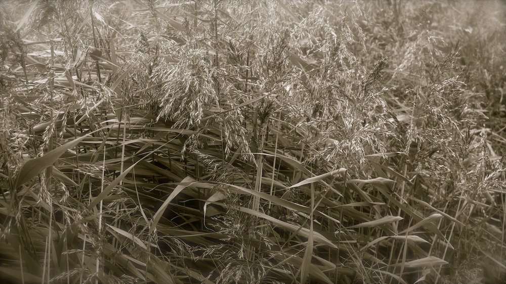 reeds snape maltings