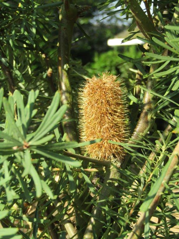 Banksia marginata (Silver Banksia) - Photo by Leonora 'Ellie' Enking