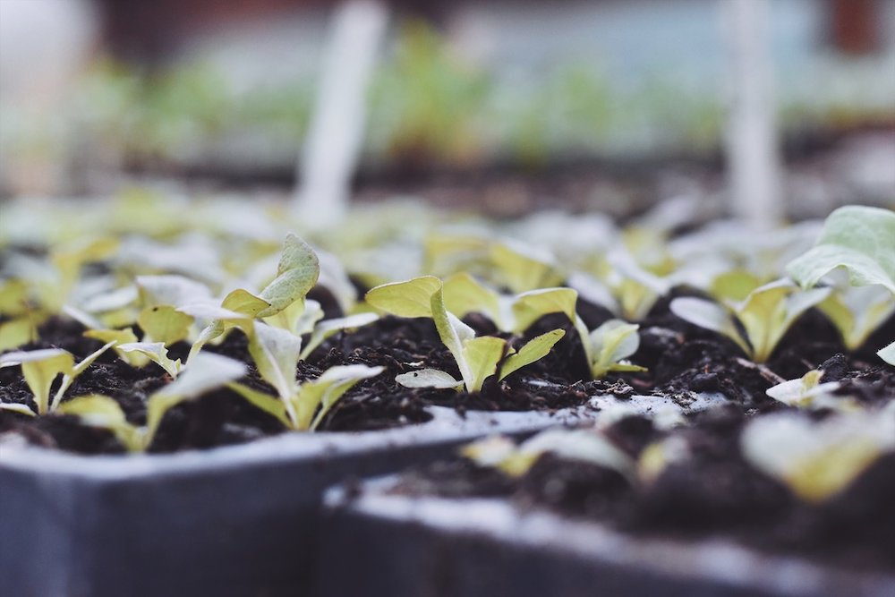Charles Dowding's beautiful seedlings