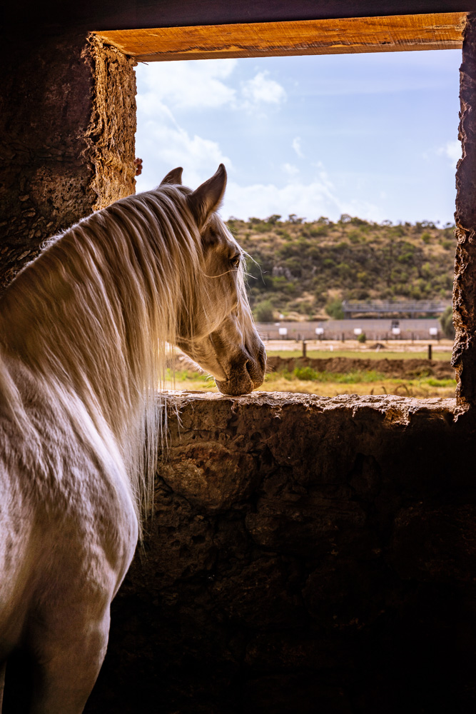 A horse looking out the window of the stable in Hacienda Tovares, Queretaro, Mexico