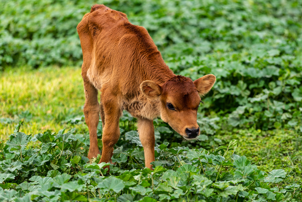 A baby cow at Rancho La Hondonada, Queretaro, Mexico