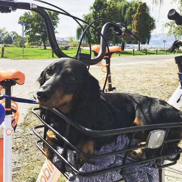 On a continuing series of doggos in baskets we present to you @frankfurterthedoxie 🐶🐾😍 . . . . #goodboy #dogsofinstagram #dog #bike #biking #tourism #nature #sustainability #riding #healthylifestyle #health #fitness #pupper #puppies #bestfriend #pup