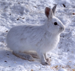 snowshoe_hare.jpeg