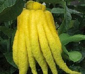 Buddha's Hand Citron - Buddha's hands are the most unusual looking citrus, as the fruit is indented down the length into several sections, closely resembling fingers. It is very popular in China and Japan, mainly used for religious ceremonies. It is also used in candies, fruit cakes, and as an air freshener.  It makes an attractive container plant, offering fragrant flowers and unusual and exotic fruit throughout the year. The trees are vigorous growers and require pruning to keep in a pot as a lanai plant.