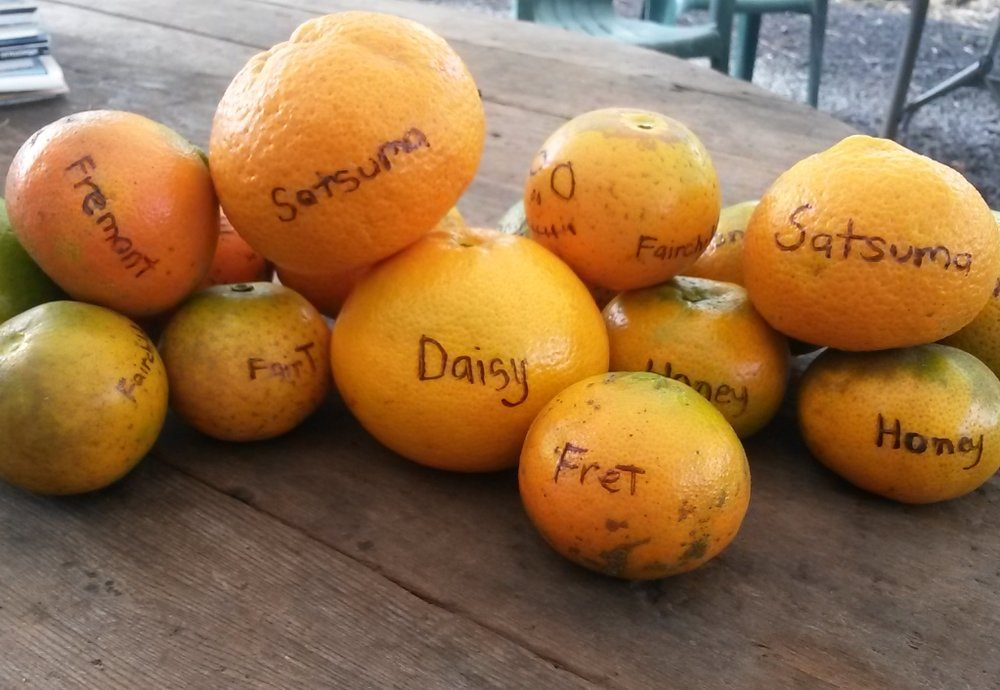 Daisy Tangerine - Daisy tangerines are a cross between two mandarins, Fortune and Fremont. The trees bear fruit in the winter months, and tend to produce large crops every other year. The skin is smooth and thin, and the flesh is seedless.