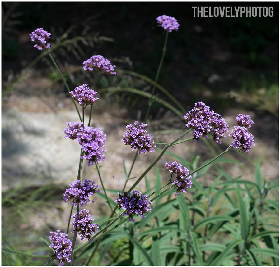 Lavender-Dreams-II