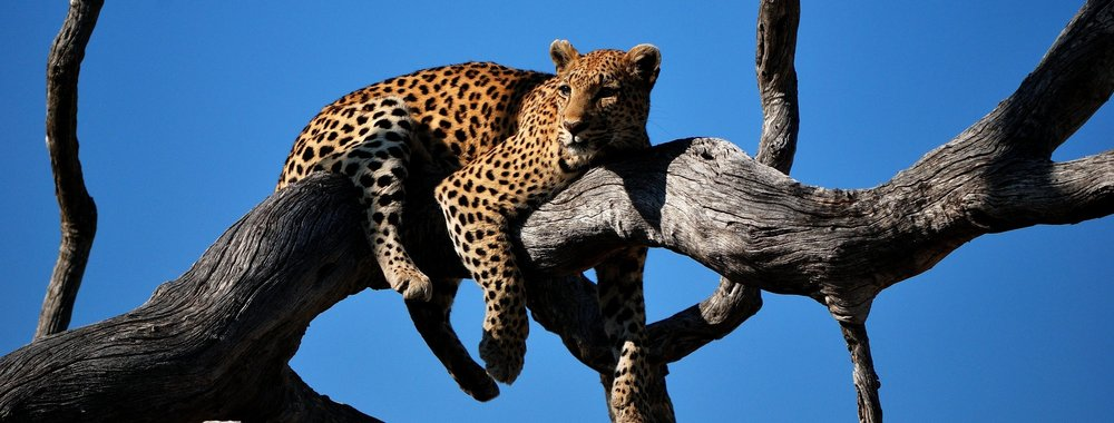 Leopards. Always hungry for springboks. (Photo credit: Colin Watts)