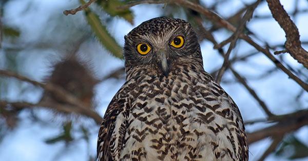 Powerful Owl ( Ninox strenua )