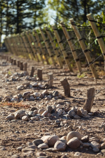 """Es el suelo que comanda - Chakana analizó, de la mano de Claude y Lydia Bourguignon -dos de los máximos expertos de terroir y viticultura ecológica del mundo-, los suelos de sus fincas en estas dos microrregiones del Valle de Uco: la profundidad de las calicatas, el estado de las plantas, la actividad biológica de la superficie.Es muy interesante comparar estos dos terruños para tratar de entender lo que los hace distintos. Pero la visita de Bourguignon evidenció otro tema relevante: lo que hay que investigar es lo que Altamira y Gualtallary tienen en común, es decir, un potencial enorme y todavía bastante inexplorado, para producir grandes vinos de terroir.Tanto en Gualtallary como en Altamira la característica principal es la abundancia de piedras cubiertas de carbonato de calcio, con poca arcilla y arena, que permite a las raíces de la planta sondear las profundidades del suelo para buscar nutrientes.En Gualtallary hay más extracción de carbonato de calcio y produce vino de gran potencia y estructura. Por el otro lado, Altamira ofrece vinos con un claro perfil calcáreo y mineral pero caracterizados de la típica frescura y elegancia de la zona.Todas características que influyen de manera determinante en el perfil del vino y hacen de Chakana Estate Selection Malbec un vino más directo, elegante, con fruta más fresca y herbal.""""La mayor parte de los minerales que hacen rico y complejo un vino son liberados por la actividad de bacterias y hongos presentes en el suelo"""". La viticultura orgánica y las prácticas biodinámicas maximizan esta actividad microbiológica. """"La fermentación del mosto en vino es nada más que un proceso de mineralización. Esto es lo que transmite la sensación de terroir"""", afirma Bourguignon.Estas palabras confirmaron lo que es uno de los rasgos más importante de la identidad de Chakana: la práctica orgánica y biodinámica como herramienta para expresar la identidad de cada lugar.Para más información: http://blog.chakanawines.com.ar/gualtallary-y-alta"""