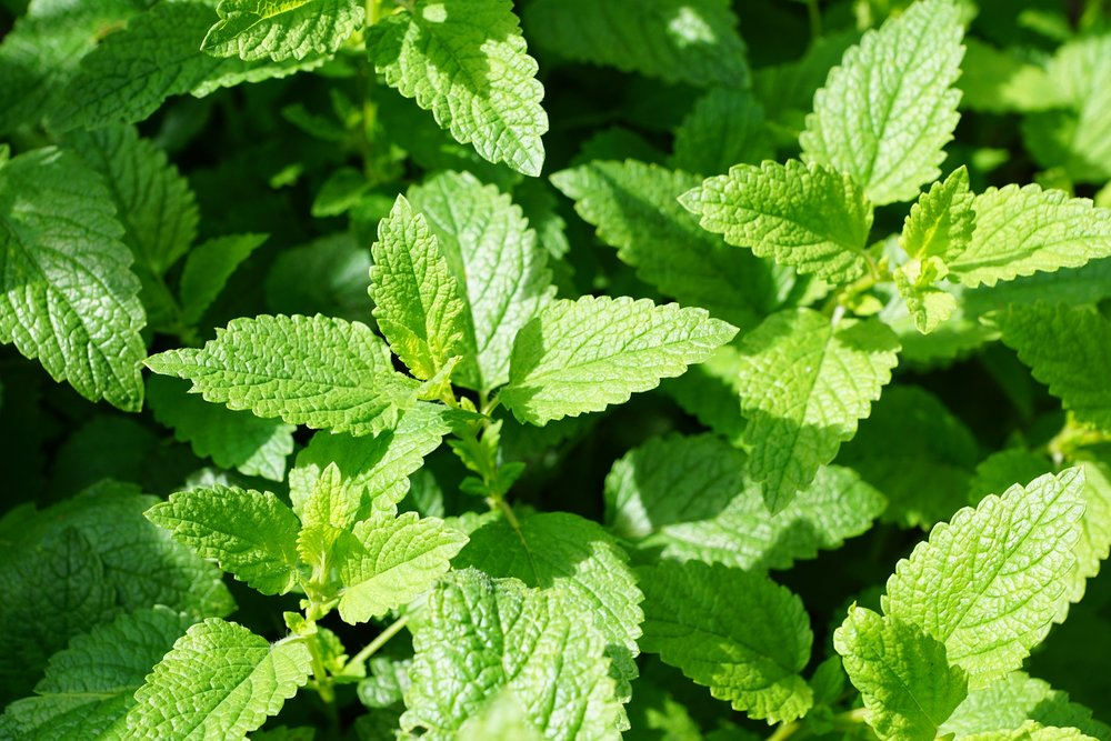mint-planting-growing-harvesting.jpg