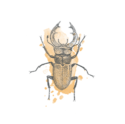 Stag beetle illustration - sRGB@0,5x.png