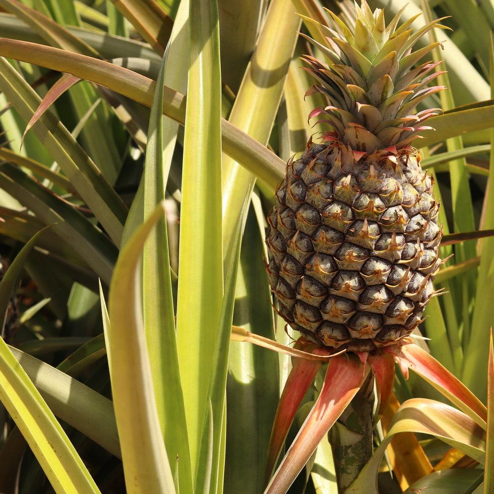 Fresh Dole Pineapple Plant