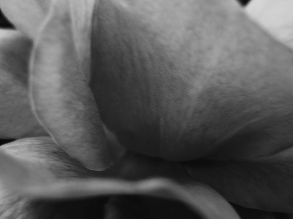 Rose Detail I - # 1/25