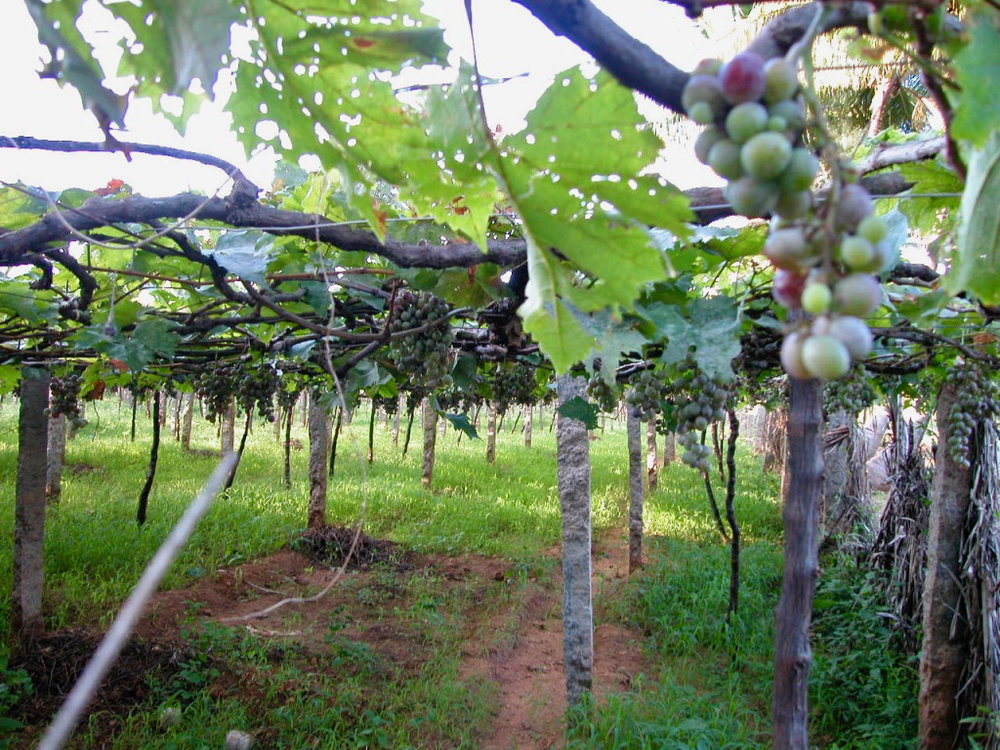 Vineyard near Madurai