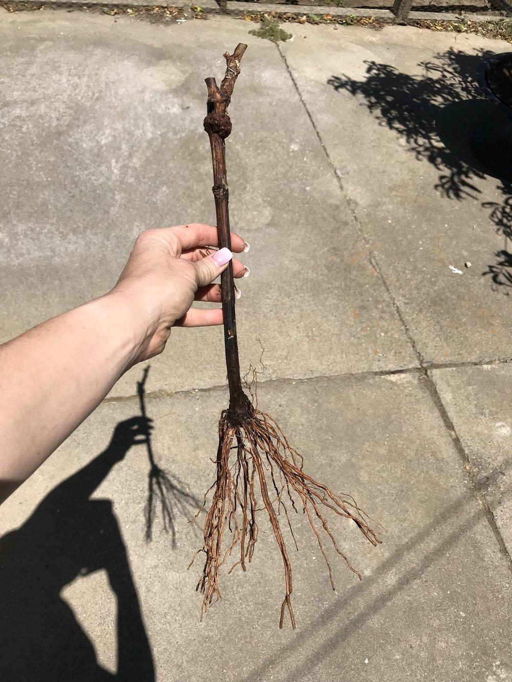 Bare Root Dormant