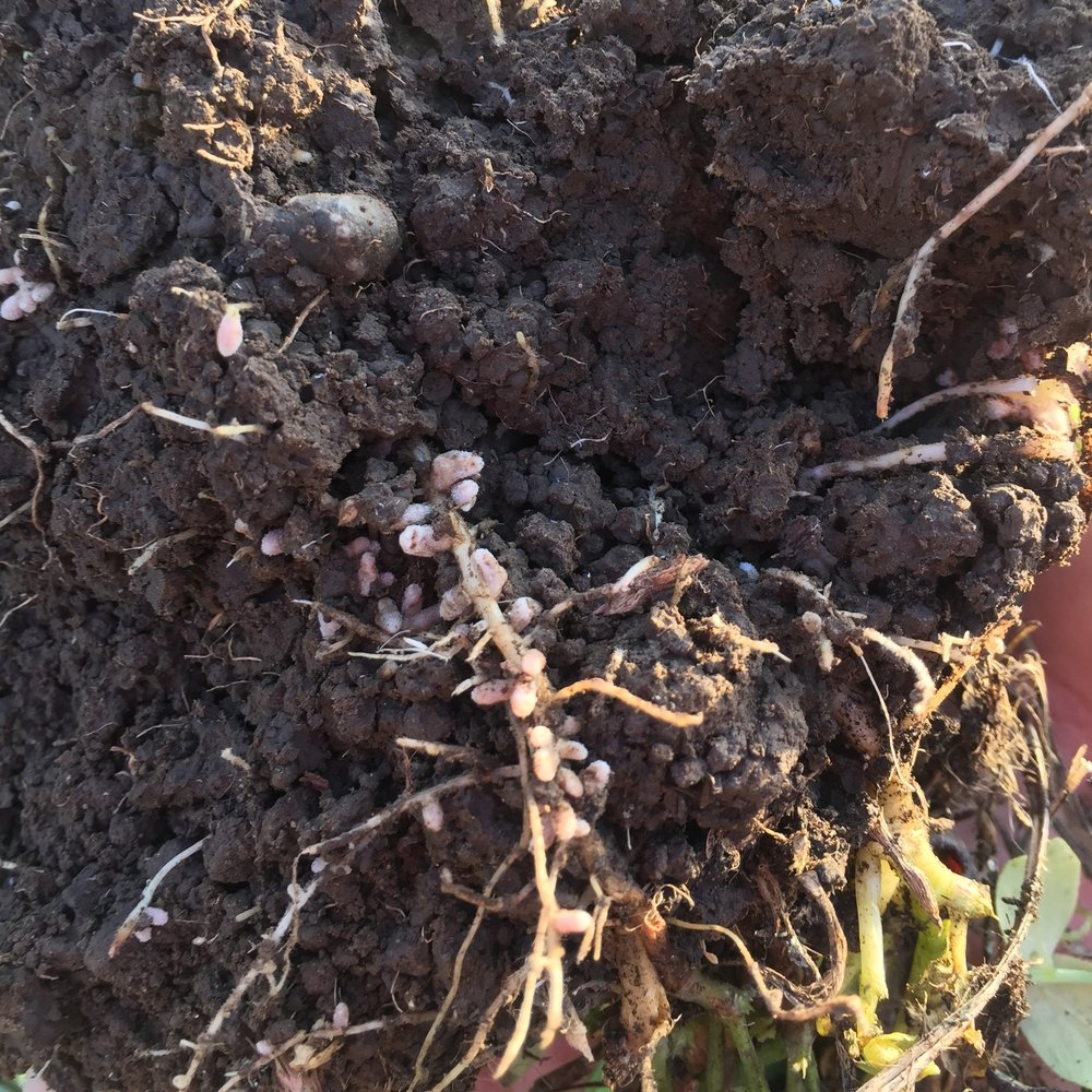 Roots of the cover crop to help with the soil fertility.