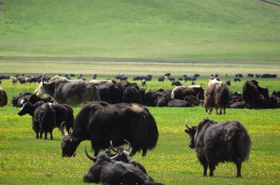 tibetan-nomadic-grassland.jpg