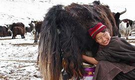 tibetan with yak.png