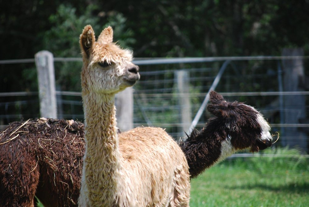Tahini & Tamari - Tahini and Tamari are the shaggy shepherds of the resident sheep. The alpacas provide important security and companionship for all of the sanctuary's resident sheep and lambs.