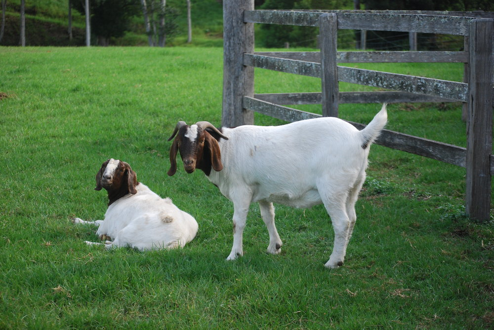 Missy & Rustus - Missy is caring mother to male goat Rustus.  They now live peaceful, joyful lives on the sanctuary amongst their best friend Sunday.