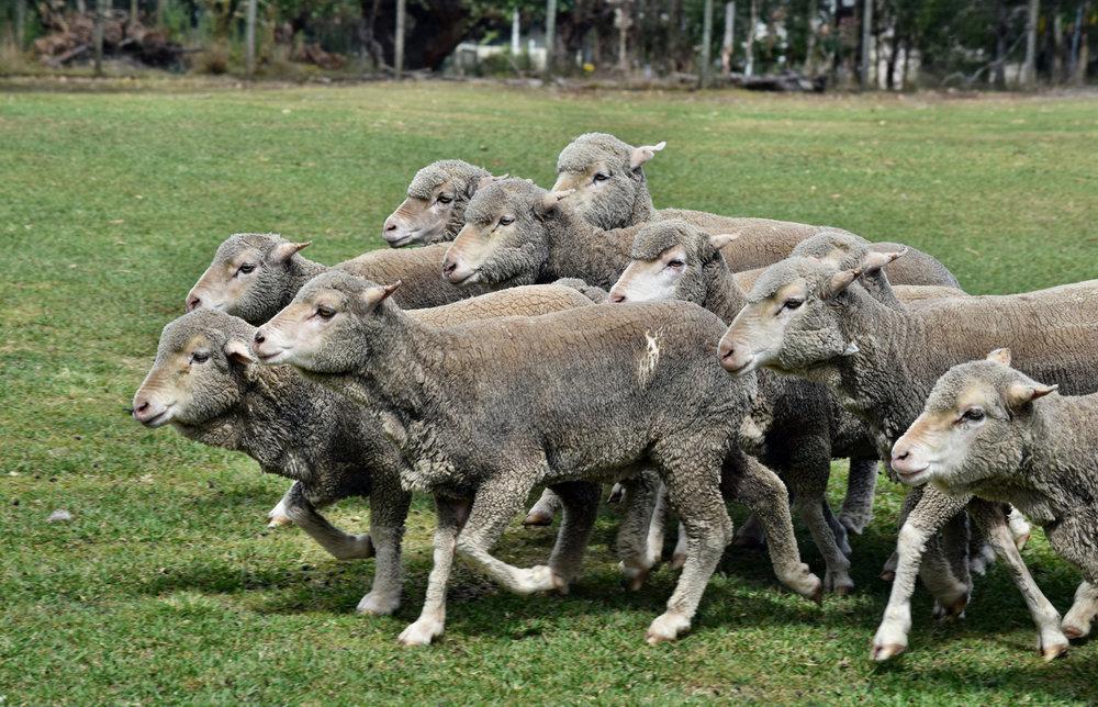 Gray sheep on Sheila's farm.