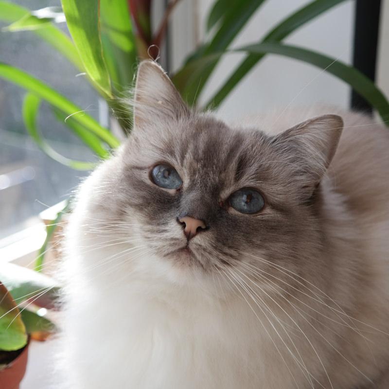 Birman-cat-spangle-lauren-grace-2.JPG