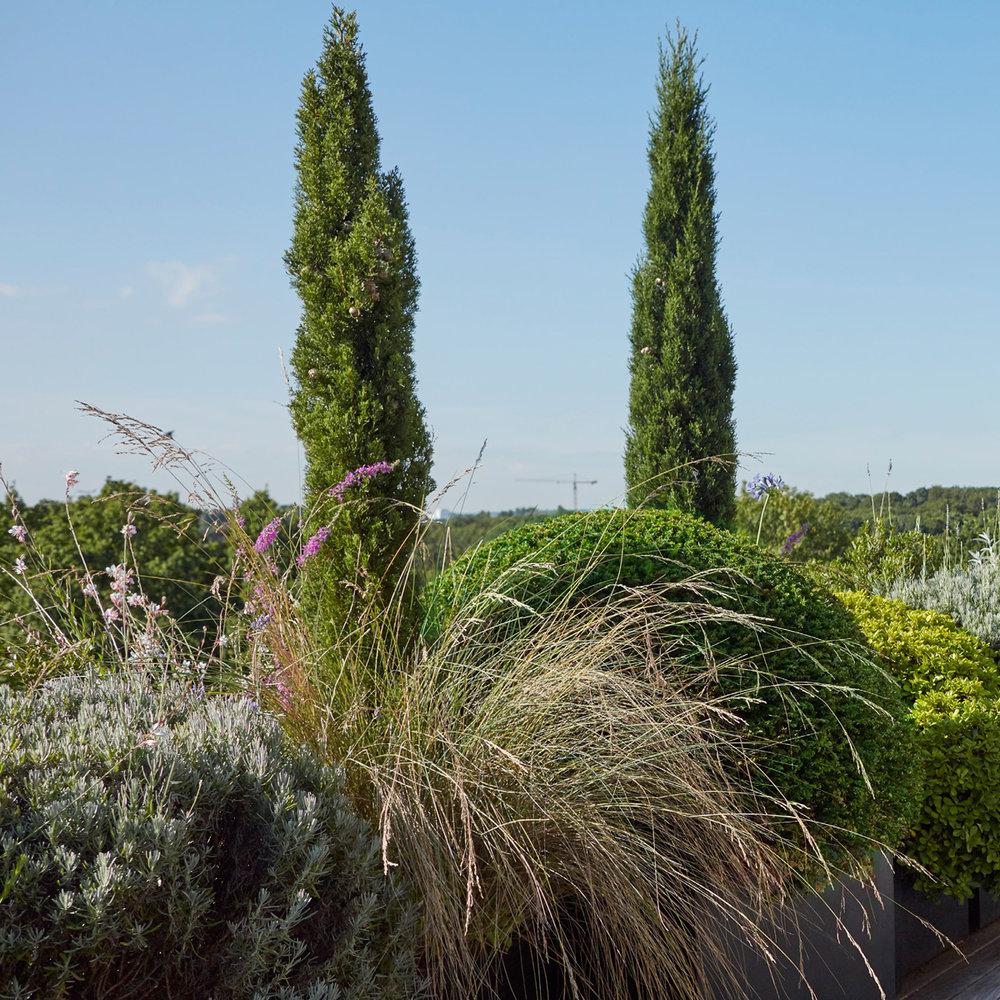 'Taxus baccata', 'Poa labillardieri', 'Lythrum salicaria'
