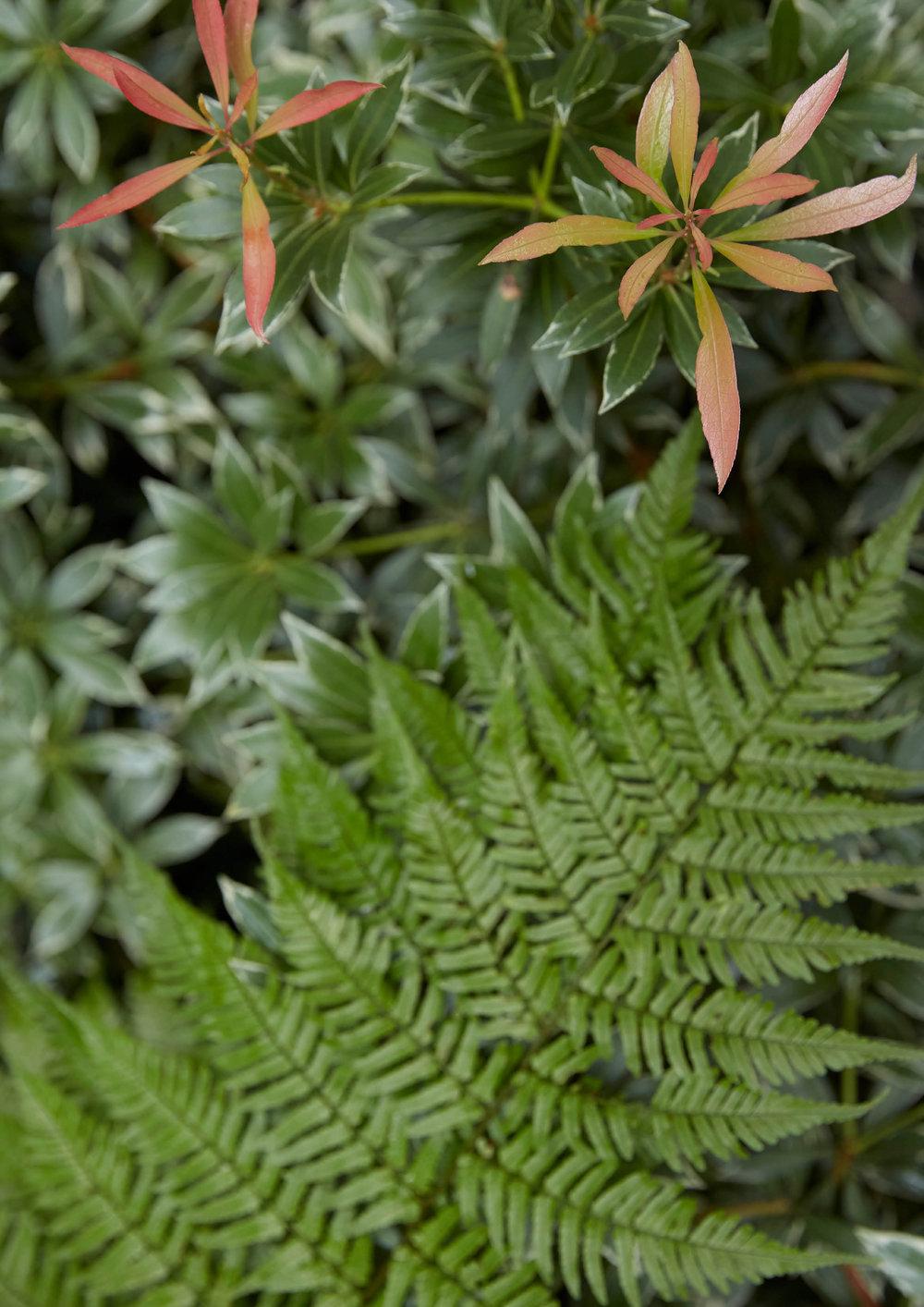 Dryopteris erythrosora & Pieris japonica 'Moutain Fire'