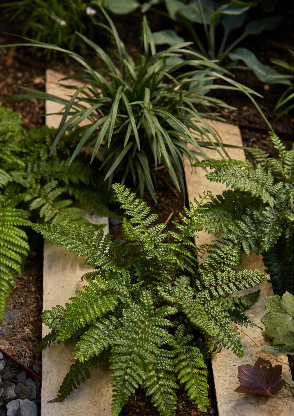 Polystichum polyblepharum & Liriope muscari