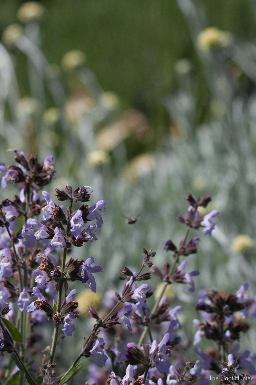 Salvia officinalis 'Nazareth'