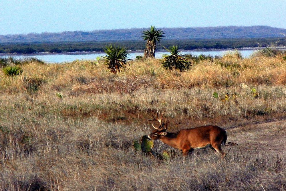 Deer-eating-prickly-pear-Bayside-Drive-2012-by-Sarah-Nordlof.jpg
