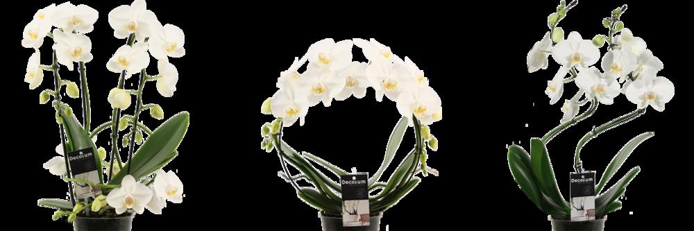Phalaenopsis 2.png