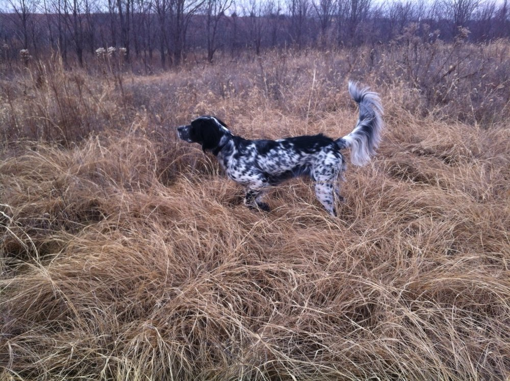 "lady  January 2015  ""We got Lady from George just over a year ago. She is my first bird dog and I trained her myself. She has been so easy to train and has been an amazing hunting partner. George even got her started on retrieving and she delivers birds to hand. My next dog will definitely be from Little River Kennels.""  Tyler"