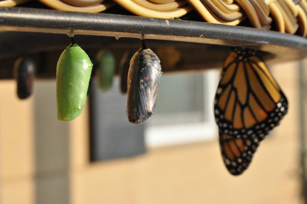 Butterfly chrysalis. Photo Credit: Suzanne D Williams via Unsplash.