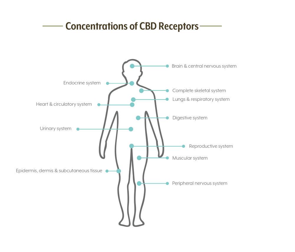concentrations-of-cbd-receptors-copy.jpg